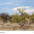 Giraffe im Etoscha Nationalpark