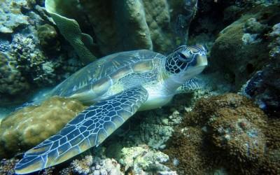 Schildkröte Unterwasser auf den Philippinen